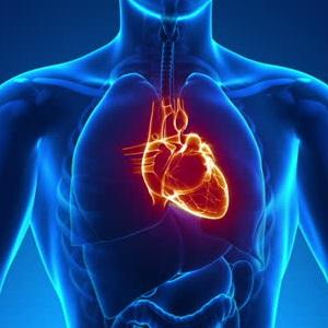 organ in human